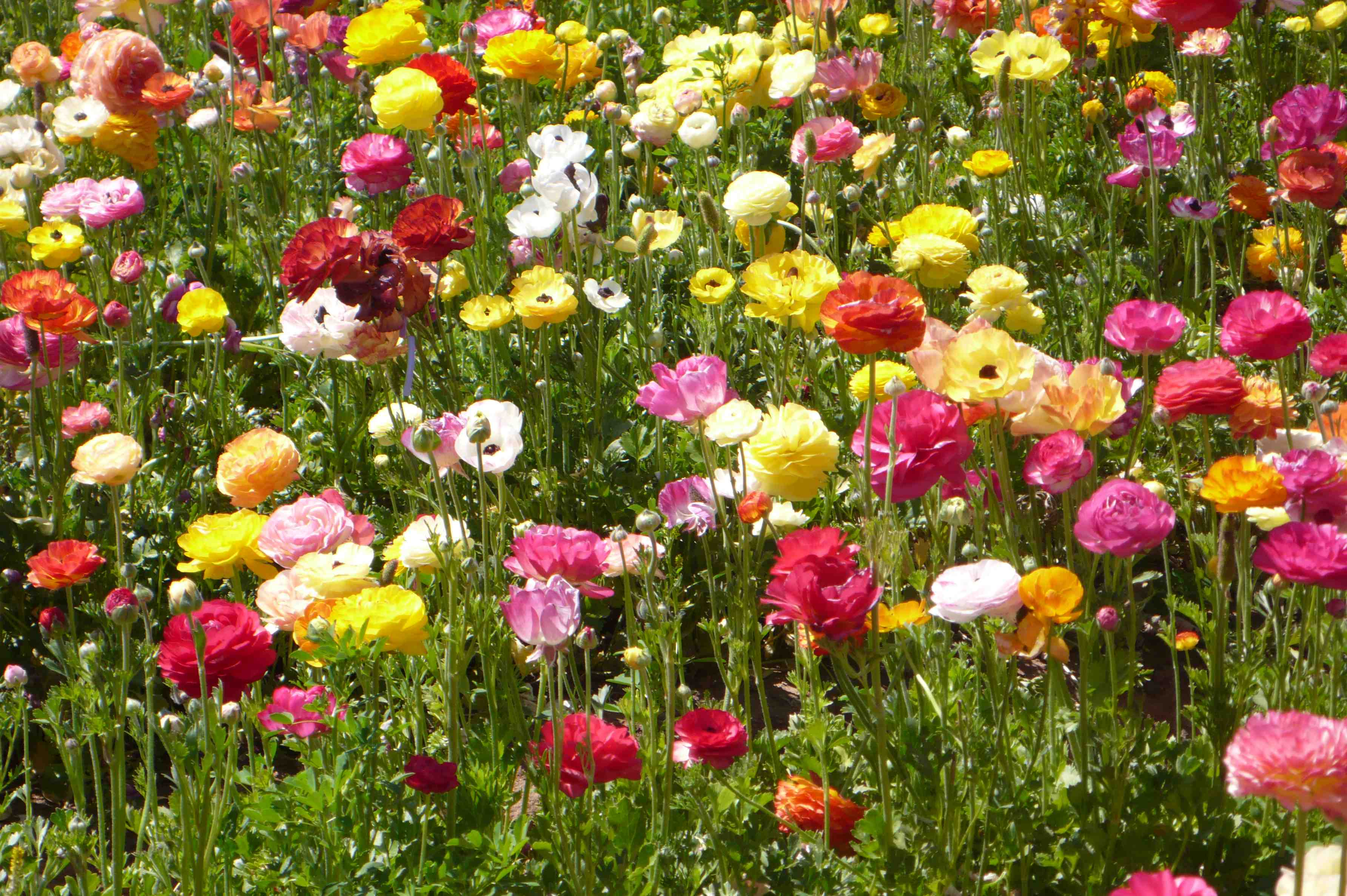 The Divine Dish Giant Ranunculus in Bloom at Carlsbad Flower Fields